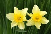 Daffodil detail — Stock Photo