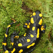 Stock Photo: Spotty salamander