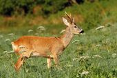 Male roe deer — Stockfoto