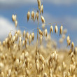 Stock Photo: Golden oat