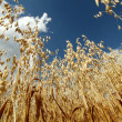 Stock Photo: Summer oat