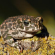 Ungly toad — Stock Photo
