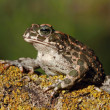 Toad — Stock Photo #31226059