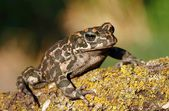 Green toad — Stock Photo