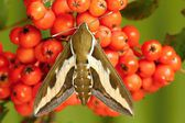 Hawk moth — Stock Photo
