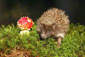 Hedgehog and agaric — Foto de Stock