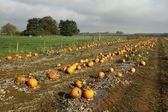 Field with pumpkins — Stock Photo