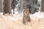 Lynx looking — Stock Photo