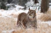 Adult lynx — Stock Photo