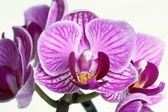Orchid detail — Stock Photo