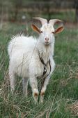 Horned goat — Stock Photo