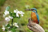 Kingfisher and prime — Stock Photo