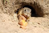 Ground squirrel in burrow — Stock Photo
