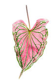 Caladium — Stock Photo