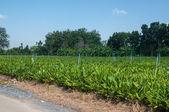 Fingerroot farm — Stok fotoğraf