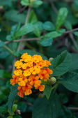 Lantana flower — Stock Photo