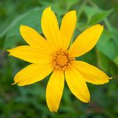 Dahlberg daisy — Photo