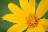 Dahlberg daisy — ストック写真