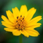 Dahlberg daisy — Stock Photo