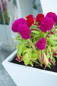 Flores Maya — Foto de Stock
