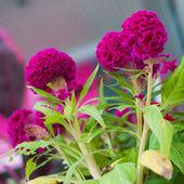 Cockscomb flowers — Stock Photo