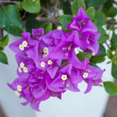 Bougainvillea — Photo