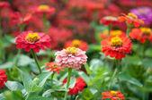 Zinnia flower — Stock Photo