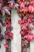 Autumnal ivy leafs on the wood wall — Stock Photo