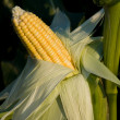 Stock Photo: Ripened corn