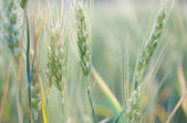 Ripening wheat close up, evening light — Stock Photo