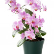 Постер, плакат: Beautiful orchid in the cache pot isolated