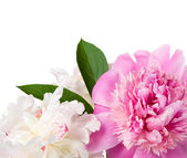Gentle peonies on the white with space for text — Stock Photo