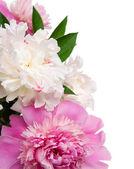Rosa und weiße pfingstrosen auf dem weißen hintergrund — Stockfoto