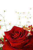 Red rose on the white background — Stok fotoğraf