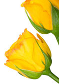 Yellow roses on the white — Stock fotografie
