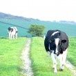Cow walking — Stock Photo #26030829
