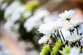 Dainty daisies — Stock Photo