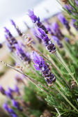 Lavenders — Stock Photo