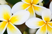 Frangipani — Stock Photo
