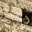 Dove in a wall — Photo