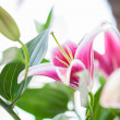 Pink lily. — Stock Photo