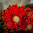 Gerber daisy with water droplets — Stock Photo