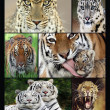 Wild cats collage — Stock Photo
