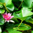 Stock Photo: Lotus flower