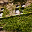 Walls covered by ivy. — Stock Photo