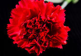Carnation flower. — Stock Photo