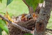 Robin fågelungar — Stockfoto