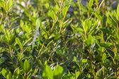 ツツジの茂みにスペルのクモの巣 — ストック写真
