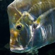 Stock Photo: Aquarium fish close up