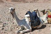 随着骆驼休息 — 图库照片